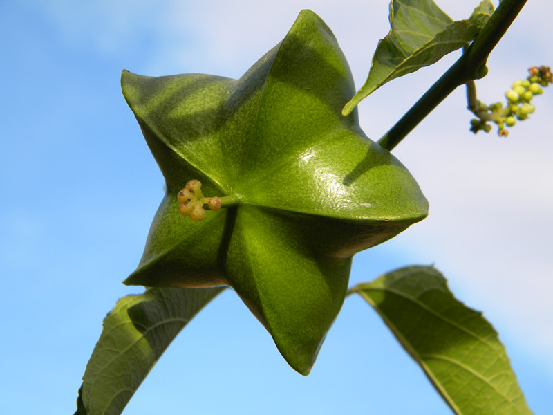 联众生物的美藤果种植基地遍布国内外,种植面积超过了5万亩。